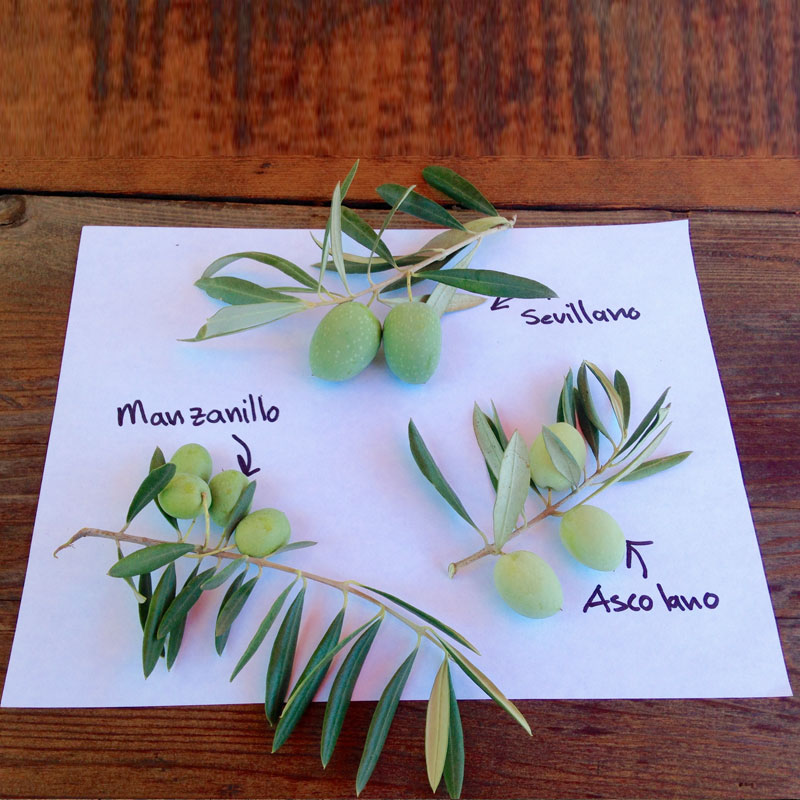 3 Common Olive Varieties Responsible for the California table olive and olive oil industries we know today img